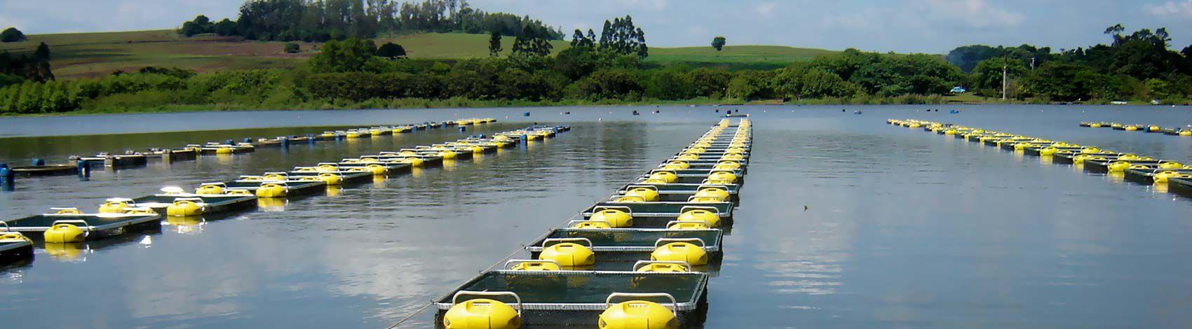 piscicultura-de-tilapias